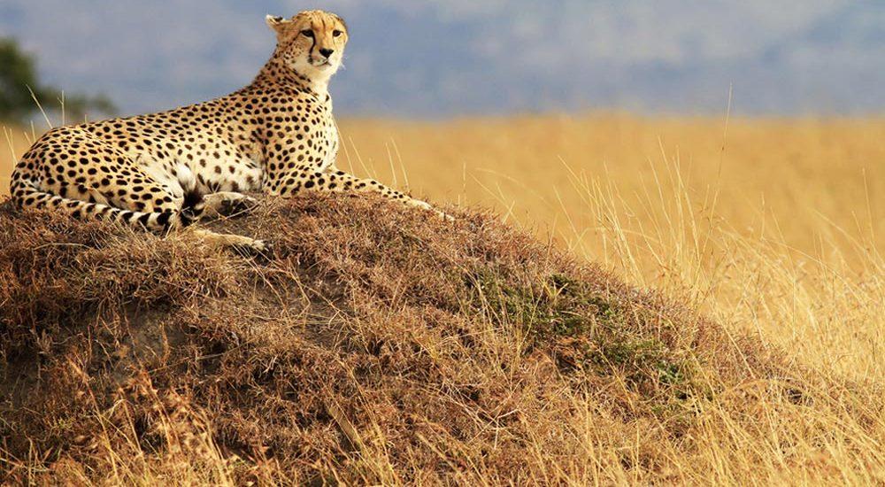 cheetah-masai-mara
