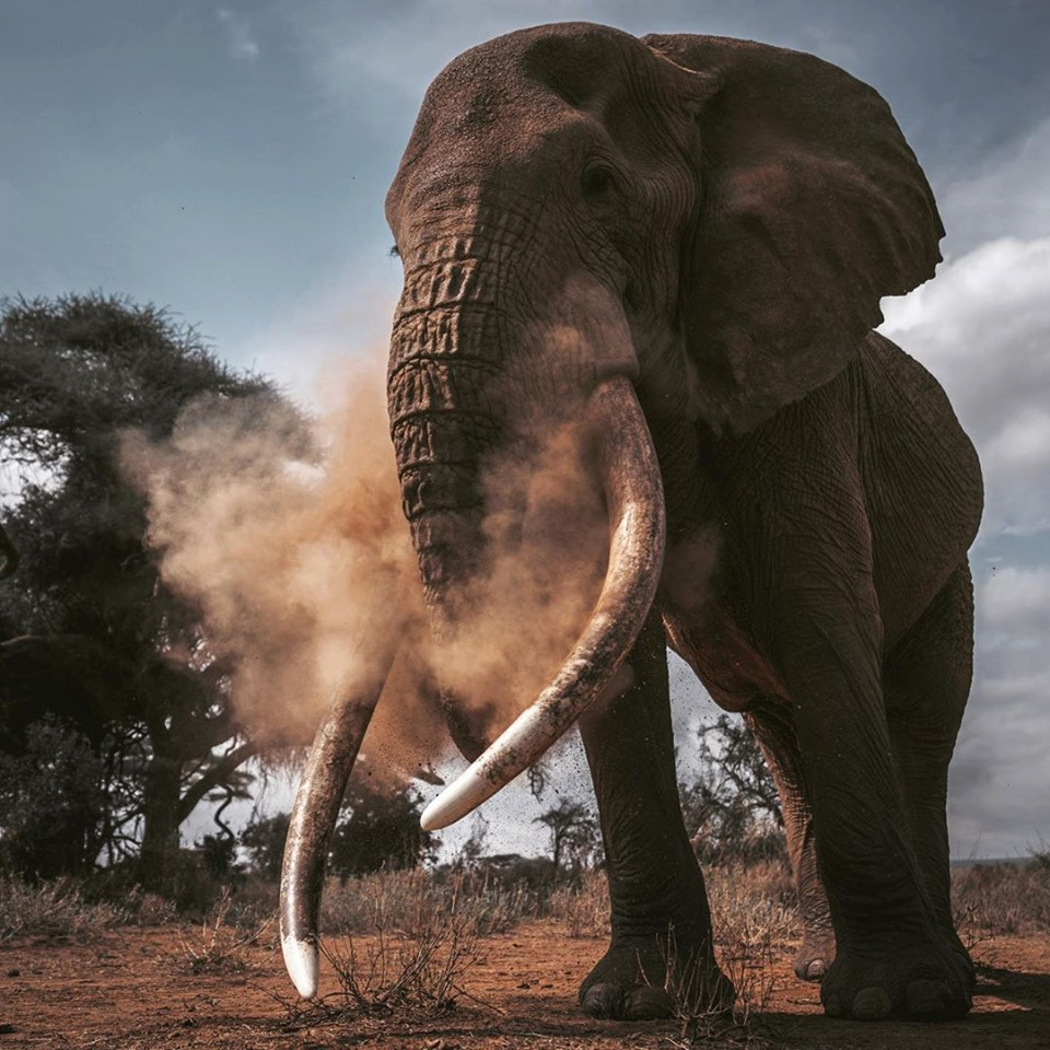Witness the African Elephant while on safari in Amboseli