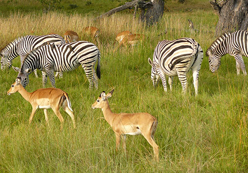 14 Days Romantic East Africa Safari: Samburu /Aberdares/ L. Nakuru/Maasai Mara/Amboseli/Ngorongoro/ Serengeti/L. Manyara takes you to explore the best of Kenya and Tanzania. Live the magic with Budget Holiday Safaris with friends, partner, family, or even solo.
