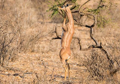 African african antelope as seen on a14 days combined Kenya and Tanzania budget holiday safari: Masai Mara/Lake Nakuru/Samburu/Aberdares/Amboseli/Ngorongoro/Serengeti/Lake Manyara/Tarangire best done privately and offers you an authentic Africa safari experience