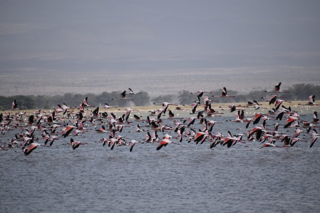 pink flamingooes