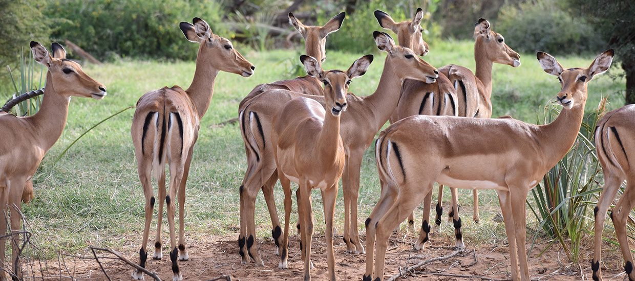 Kenya safari tour- spot the magical impalas