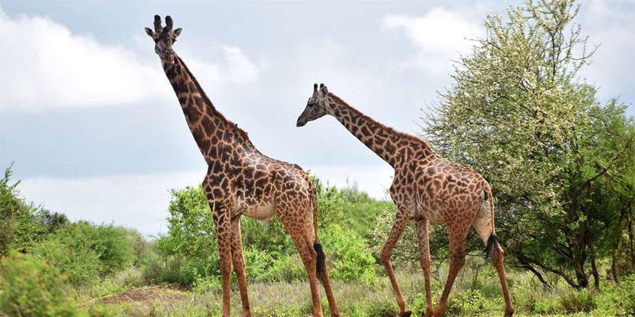 8 days classic combined Kenya Tanzania safari